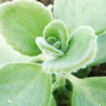 Coleus aromaticus
