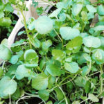 Crescione delle fontane - Nasturtium officinalis