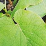 Hoja santa piper auritum