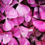 Oxalis xalis burgundy wine
