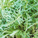 Rucola selvatica - Diplotaxis tenuifolia