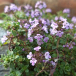 Thymus ca born wine and roses