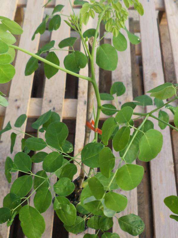 moringa asiatica moringa oleifera