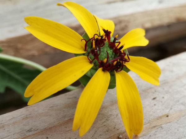 fiore di cioccolato berlandiera lyrata