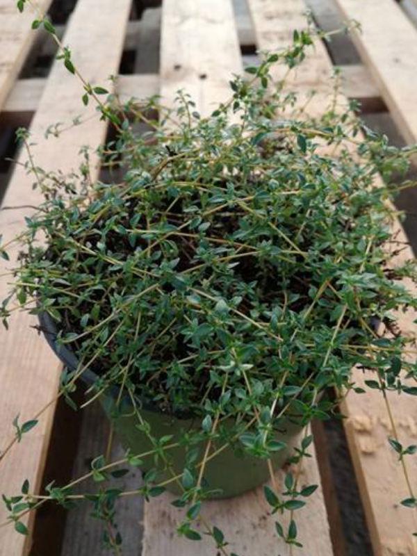 timo della corsica thymus herba barona