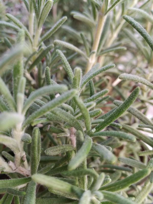 rosmarino mendizabalii rosmarinus officinalis x mendizabalii