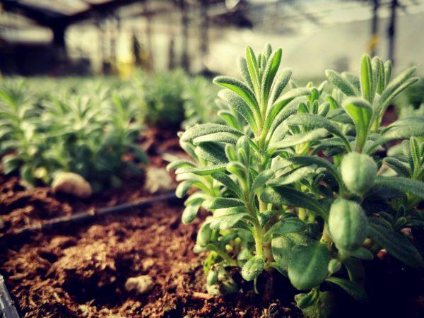 lavandula geel floricultura