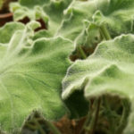 Pelargonium menta