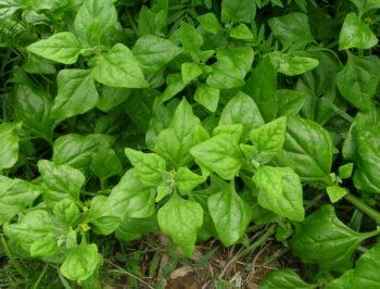 Tetragonia tetragonioides: lo spinacio estivo