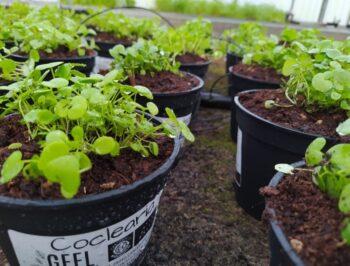 L'insalata sul balcone: erbe spontanee da mangiare