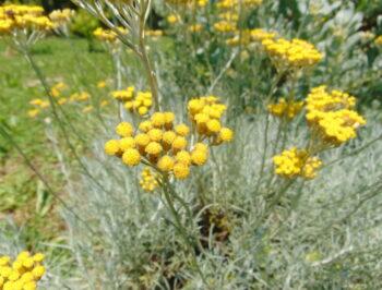 Helichrysum italicum e le glorie di una Grecia antica