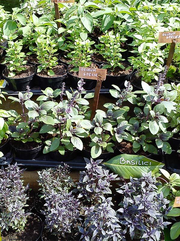 piante aromatiche vendita online