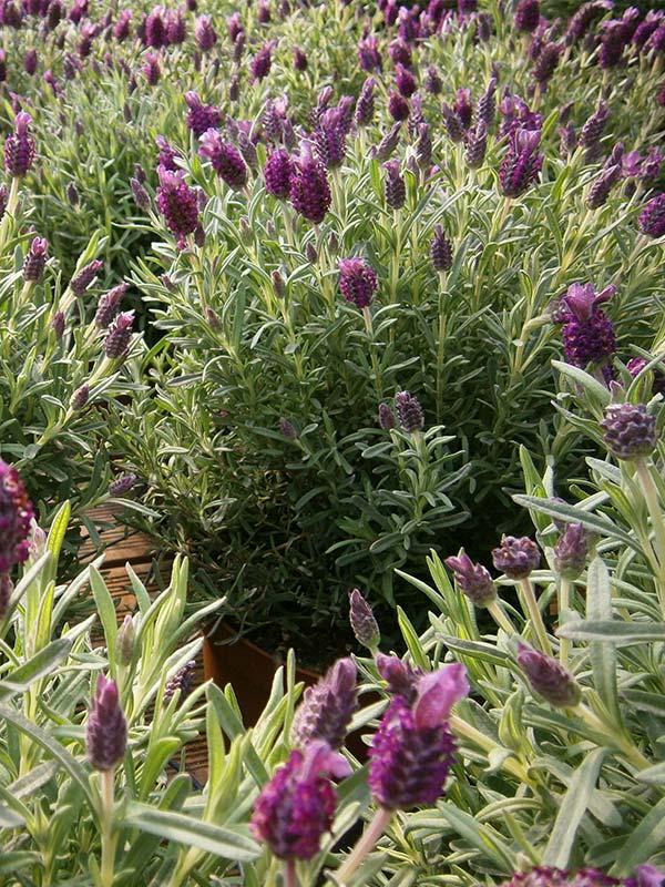 vivai piante officinali