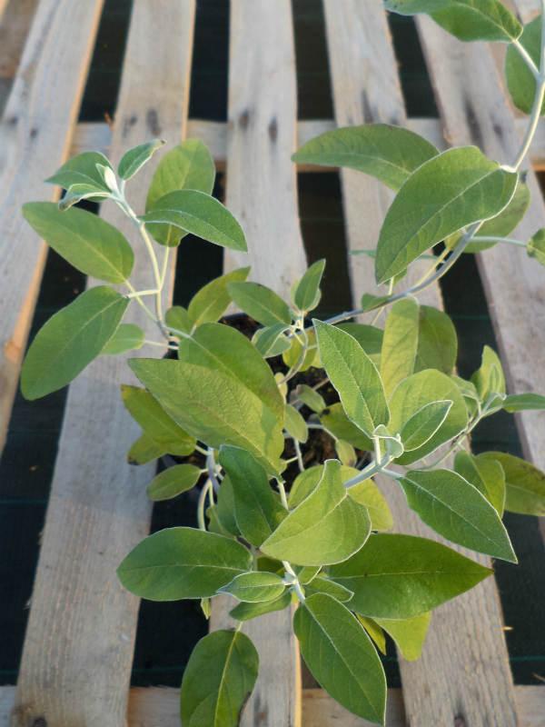 Salvia peruviana