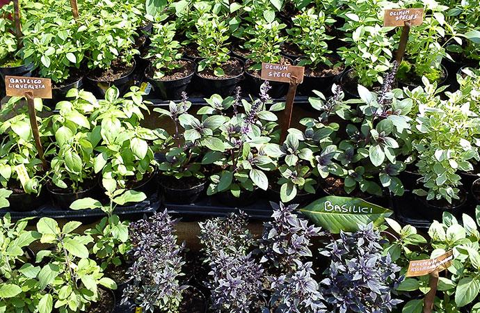 Vendita piante aromatiche vendita piante aromatiche u for Piante vendita